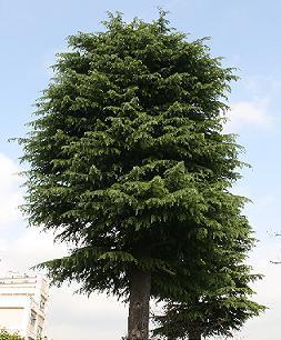 ヒマラヤ杉